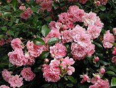 Róża okrywowa różowa The Fairy Ground cover rose The Fairy