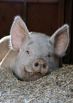 Oink Smiling Pig..lol