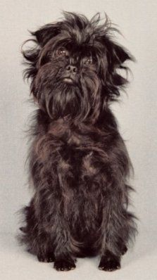 Affenpinscher, when I figure out how to pin a picture of mine you will see my cuties Minky Sue!