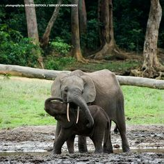 The kid the elephant calf with mum. The African Forest Elephant (Loxodonta cyclotis) is a forest dwelling elephant of the Congo Basin. Elephant Love, Elephant Art, Beautiful Creatures, Animals Beautiful, Animals And Pets, Cute Animals, Wild Animals, African Forest Elephant, All About Elephants