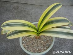 Clivia miniata variegated