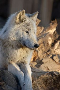 My wolf. He sits in silence and watches everything.. Always OBSERVING ... what A beautiful creature you are. My heart still beats for you.. And with you.