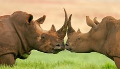 I know these are rhinos, but this picture is so sweet. There is love among every species...