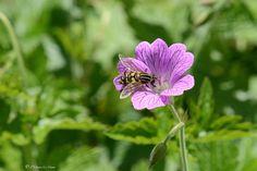 Zzzzzzzz ... Zzzzzzzz ©Philippe Le Stum #nature #flower #fleur #food #nourriture #pink #rose #green #vert #Morbihan #Bretagne #photography #PhilippeLeStum
