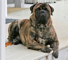 Bullmastiff - solid build and a short muzzled, the breed's bloodlines are drawn from the English Mastiff and Old English Bulldog.
