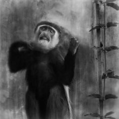 Behind Glass, black and white photographs of primates Knocking from the inside