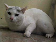 NYC TO BE DESTROYED May 15'14 KIMBA.ID #A0998472.Male white and gray domestic sh mix.about 6 YEARSold.owner surrender reason stated was COST https://www.facebook.com/nycurgentcats/photos/a.790818960936093.1073742303.220724831278845/790818984269424/?type=3&theater#!/nycurgentcats/photos/a.790818960936093.1073742303.220724831278845/790819044269418/?type=3&permPage=1