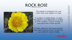 #bachflower #remedies #rockrose Bach Flowers, Rock Rose, Great Fear, Homeopathy, Herbalism, Remedies, Healing, Reiki, Flowers