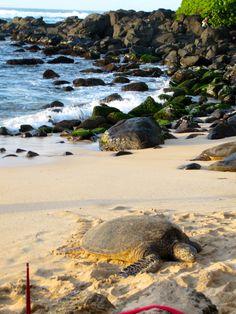 Honu: the Hawaiian sea turtle, symbolizes long life & protection in Hawaiian culture