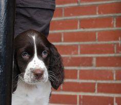 English Springer Spaniel Pup