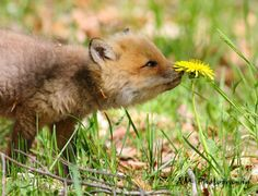 Young red foxes can travel quite far during the fall season seeking new territories. Young males have been traced as far as from their birth sites. PC: Ryan Adams Midland ON. by cwf_fcf Fantastic Mr Fox, Fabulous Fox, Canadian Wildlife, Canadian Animals, Baby Animals, Cute Animals, Smelling Flowers, Animal Antics, Zoology