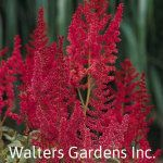 Astilbe 'August Light' is an arendsii hybrid with red tinted foliage in the spring that changes to a medium green and is topped with tall, slender spikes of scarlet red buds opening to reddish-pink flower in mid to late summer. Shade Perennials, Flowers Perennials, Astilbe, Fall Plants, Shade Plants, Garden Plants, How To Attract Hummingbirds, Woodland Garden, Companion Planting