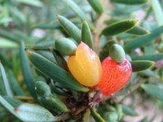 Totara Fruit