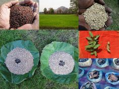 Validated and Potential Medicinal Rice Formulations for Hypertension and/with Diabetes mellitus Type 2 Complications (TH Group-272) from Pankaj Oudhia's Medicinal Plant Database
