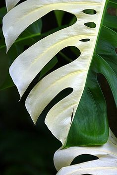 Somewhere I would like to live: Semi Albino Monstera / Plant of the week #02