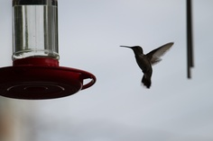 Humming Bird (Love taking pictures of these little guys)