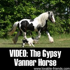 Video: The Gypsy Vanner Horse.  Never heard of this incredible creature before, but from the moment I began to watch this I was entranced!  Such beauty in Jehovah's creation!