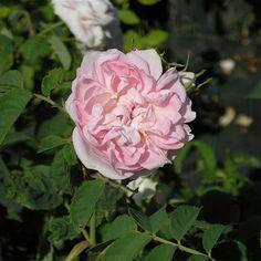 Rosa cuisse de Nymphe