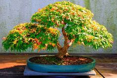 A Customer's Guide To Herbal Dietary Supplements On The Net Bonsai Happiness Plants, Colorful Plants, Bonsai Tree, Bonzai Tree, Ikebana, Zen Garden, Japanese Garden, Fairy Garden, Miniature Trees