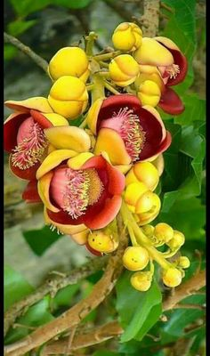 Cannon ball flower -- such an interesting blossom. Cannon ball flower -- such an interesting blossom Unusual Flowers, Unusual Plants, Rare Flowers, Exotic Plants, Amazing Flowers, Yellow Flowers, Colorful Flowers, Beautiful Flowers, Beautiful Gorgeous