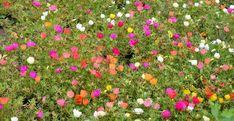 Esenţialul despre portulaca (floarea de piatră) Home And Garden, Landscape, Paradis, Flowers, Gardening, Beautiful, Agriculture, Green, Plant