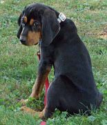 Black and Tan Coonhound Puppy