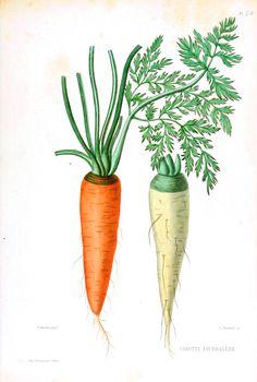Carrot print for Tuzi's Room  http://vintageprintable.com/wordpress/wp-content/uploads/2010/08/Botanical-Carrot-white-and-orange1.jpg