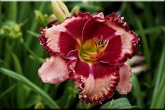 Jamaican Paridise shines in the garden May Flowers, Beautiful Flowers, Daylily Garden, Asiatic Lilies, Day Lilies, Grasses, Flower Beds, Garden Plants, Bulbs