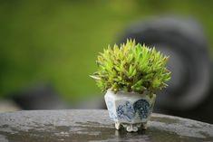 super mini bonsai / succulent