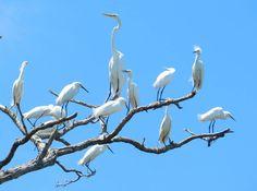 Garça-Branca-Grande (Ardea Alba) Parque Estadual Verde Grande, Matias Cardoso…