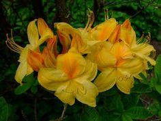 https://flic.kr/p/EhPbei | Rhododendron | www.youtube.com/user/yewmchan/videos