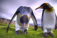 """"""" Lookin' for Your Contact Lens ?"""" - Penguins, Falkland Islands"""