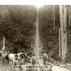 Log Chute with Ox Teams - 1890s