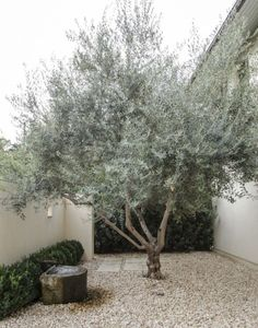 Front Yard Garden Design Olive Tree by Matthew Williams - Short on water, funds, inspiration? Gardenista has been taking a look at landscaping with less this past week. Collect rainwater for watering the garden: 1 Gravel Garden, Pea Gravel, Gravel Front Garden Ideas, Gravel Driveway, Olive Tree, Garden Trees, Backyard Landscaping, Landscaping Ideas, Landscaping Software