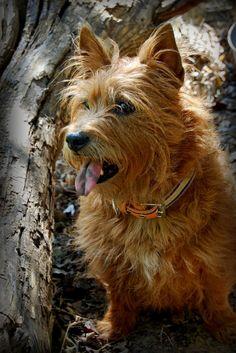 Texas - Cairn Terrier