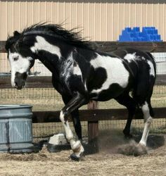 Black overo paint stallion named Cochise.
