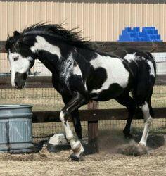 Black overo paint stallion named Cochise.