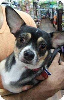 Pataskala, OH - Chihuahua. Meet Toby, a dog for adoption. http://www.adoptapet.com/pet/14947678-pataskala-ohio-chihuahua