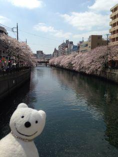 クマ散歩:瞼の母を探して品行方正なクマが土俵入り4 (日ノ出町) The Bear took a walk up the Ooka River!♪☆(^O^)/