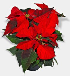 The poinsettia (Euphorbia pulcherrima) is a culturally and commercially important plant species of the diverse spurge family. Order: Malpighiales Family: Euphorbiaceae Genus: Euphorbia Species: E.