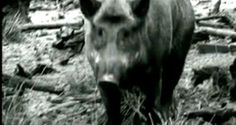 "Crazy Pig Hunting Footage from Discovery Channel's ""Pig Bomb"" [VIDEO]"