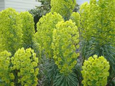 Euphorbia characias subsp. wulfe