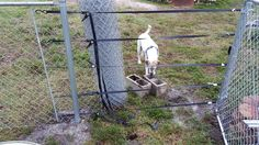 Pull a fence without a come along or fence puller