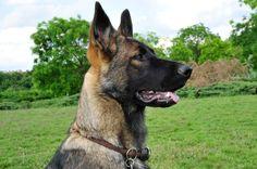 Schaeferhunde-ddr.de Rita.1.jpg