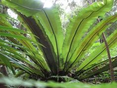 ACCENT: Birds Nest Fern (Asplenium australasicum) - A sculptural accent with its crinkled rays of broad, leathery leaves, bright green with a dark mid-rib. Use in a tropical garden design or as a formal element in a pot. A nidus is similar but better adapted to warmer conditions (Jamie Durie, The Source Book)