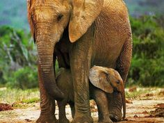 """I love elephants. Notice neither one are standing on their heads, riding a bike, walking on their hind feet, or other """"tricks"""" you see them do at the circus."""