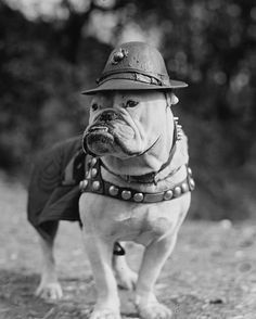 Sgt. Major Jiggs 1925; English bulldog & the first mascot of U.S. Marines…