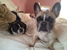 Smoosh-faced love, French Bulldog and Boston Terrier