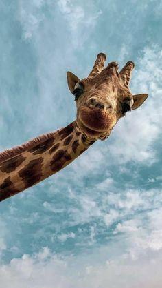 Giraffe Wallpaper