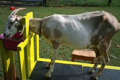 9 Tips for Training Your Goat to Stand Patiently on the Milking Stand